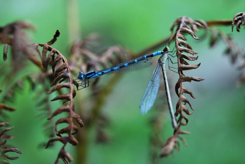 Dragonflies on Fern